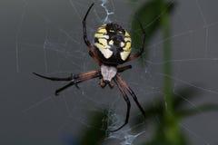 Κίτρινη αράχνη κήπων στοκ φωτογραφίες