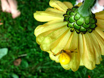 Κίτρινη αράχνη στο λουλούδι Στοκ εικόνα με δικαίωμα ελεύθερης χρήσης