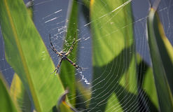 Κίτρινη αράχνη σφαίρα-ύφανσης κήπων Στοκ Φωτογραφίες