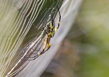 Κίτρινη αράχνη φερμουάρ κήπων Ιστού αραχνών Στοκ εικόνες με δικαίωμα ελεύθερης χρήσης