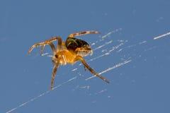 Κίτρινη αράχνη Στοκ Φωτογραφίες