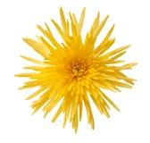 Κίτρινη αράχνη mum Στοκ φωτογραφίες με δικαίωμα ελεύθερης χρήσης