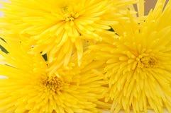 Κίτρινη αράχνη mum Στοκ εικόνα με δικαίωμα ελεύθερης χρήσης
