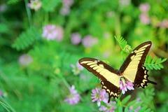 Κίτρινη βασίλισσα Swallowtail Butterfly στο υπόβαθρο λουλουδιών Στοκ Εικόνα