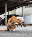 Κίτρινη γάτα που γλείφει τα πόδια του Στοκ Εικόνες