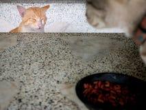 Κίτρινη γάτα που περιμένει την γκρίζα γάτα για να φάει τελειωμένος στοκ φωτογραφία