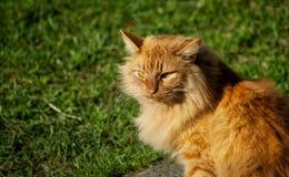 Κίτρινη γάτα Στοκ φωτογραφίες με δικαίωμα ελεύθερης χρήσης