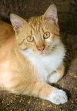 Κίτρινη γάτα Στοκ Εικόνες