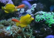 Κίτρινη γεύση σε μια κοραλλιογενή ύφαλο Στοκ Εικόνες