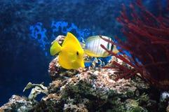 Κίτρινη γεύση (Zebrasoma flavescens) και sealfin γεύση (Zebrasoma β Στοκ εικόνα με δικαίωμα ελεύθερης χρήσης