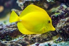 Κίτρινη γεύση - Zebrasoma flavescens Στοκ Εικόνα