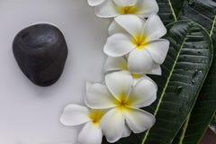 Κίτρινη γύρη και άσπρο πνεύμα λουλουδιών frangipani ή plumeria πετάλων Στοκ Εικόνα