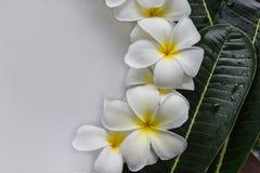 Κίτρινη γύρη και άσπρο πνεύμα λουλουδιών frangipani ή plumeria πετάλων Στοκ Εικόνες