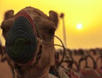 Κίτρινη είναι η καμήλα μου Στοκ Εικόνες