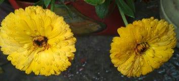 Κίτρινη εικόνα λουλουδιών στοκ φωτογραφίες με δικαίωμα ελεύθερης χρήσης