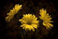 Κίτρινη εικόνα της Daisy Στοκ εικόνα με δικαίωμα ελεύθερης χρήσης