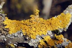 Κίτρινη λειχήνα Στοκ Φωτογραφίες