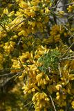 Κίτρινη επάνθιση του θάμνου Cytisus Στοκ Εικόνες