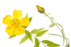 Κίτρινη διακοπή λουλουδιών clematis στοκ φωτογραφία