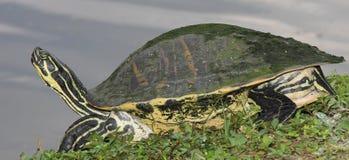 Κίτρινη διογκωμένη χελώνα ολισθαινόντων ρυθμιστών Στοκ Εικόνες
