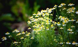 Κίτρινη και άσπρη μαργαρίτα Στοκ φωτογραφίες με δικαίωμα ελεύθερης χρήσης