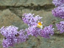 Κίτρινη και άσπρη πεταλούδα στο πορφυρό λουλούδι στοκ φωτογραφία με δικαίωμα ελεύθερης χρήσης