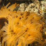 Κίτρινη και καφετιά λεπτομέρεια πλοκαμιών anemone Στοκ Εικόνες