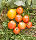 Κίτρινη και κόκκινη ντομάτα φρέσκια από τον κήπο Στοκ Εικόνες