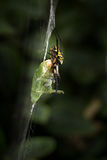 Κίτρινη και μαύρη αράχνη κήπων με τα τρόφιμα Στοκ φωτογραφία με δικαίωμα ελεύθερης χρήσης