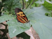 Κίτρινη και μαύρη να τοποθετηθεί πεταλούδων συνεδρίαση σε ένα πράσινο φύλλο που γεννά τα αυγά, στη μέση της φύσης Στοκ Εικόνες