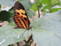 Κίτρινη και μαύρη να τοποθετηθεί πεταλούδων συνεδρίαση σε ένα πράσινο φύλλο που γεννά τα αυγά, στη μέση της φύσης Στοκ φωτογραφία με δικαίωμα ελεύθερης χρήσης