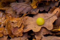 Κίτρινη καραμέλα υποβάθρου φθινοπώρου στο δρύινο φύλλο Aguilar de Campoo στοκ φωτογραφίες με δικαίωμα ελεύθερης χρήσης