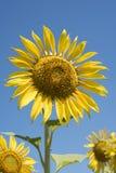 Κίτρινη κινηματογράφηση σε πρώτο πλάνο ηλίανθων στο υπόβαθρο μπλε ουρανού στοκ εικόνες με δικαίωμα ελεύθερης χρήσης