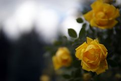 Κίτρινη κινηματογράφηση σε πρώτο πλάνο θάμνων φυτειών με τριανταφυλλιές στοκ εικόνες