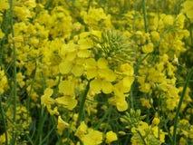 Κίτρινη κινηματογράφηση σε πρώτο πλάνο λουλουδιών βιασμών στον τομέα Στοκ Φωτογραφία