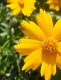Κίτρινη κινηματογράφηση σε πρώτο πλάνο λουλουδιών της Daisy μαύρη Eyed Susan Στοκ Φωτογραφία