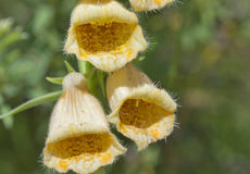 Κίτρινη κινηματογράφηση σε πρώτο πλάνο λουλουδιών bluebell Στοκ Εικόνες