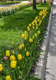Κίτρινη, κόκκινη και ρόδινη ευθυγραμμισμένη τουλίπα λεωφόρος της Ουάσιγκτον, Ολλανδία, Μίτσιγκαν στοκ εικόνα