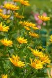 Κίτρινη λεπτομέρεια κήπων λουλουδιών Στοκ Εικόνες
