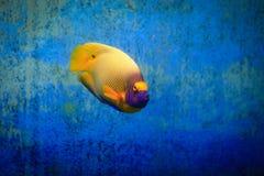 Κίτρινη μάσκα Angelfish Στοκ Φωτογραφία