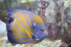 Κίτρινη μάσκα Angelfish Στοκ φωτογραφία με δικαίωμα ελεύθερης χρήσης
