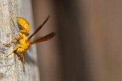 Κίτρινη μέλισσα Στοκ φωτογραφία με δικαίωμα ελεύθερης χρήσης