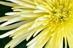 Κίτρινη μακροεντολή κινηματογραφήσεων σε πρώτο πλάνο λουλουδιών αραχνών mum Στοκ Φωτογραφίες