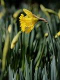 Κίτρινη μακροεντολή λουλουδιών Daffodil στοκ φωτογραφία με δικαίωμα ελεύθερης χρήσης