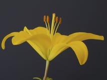 Κίτρινη μακροεντολή κρίνων Στοκ Εικόνα
