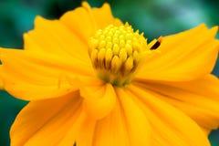 Κίτρινη μακροεντολή λουλουδιών κόσμου στον κήπο Στοκ Φωτογραφίες
