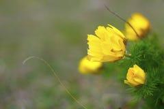 Κίτρινη μακροεντολή λουλουδιών Στοκ Εικόνα