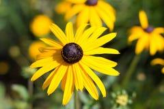 Κίτρινη μακροεντολή λουλουδιών - rudbeckia, η μαύρη eyed Susan Στοκ Φωτογραφία