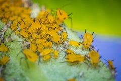 Κίτρινη μακροεντολή Aphids Στοκ φωτογραφία με δικαίωμα ελεύθερης χρήσης
