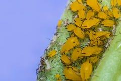 Κίτρινη μακροεντολή Aphids Στοκ Φωτογραφία